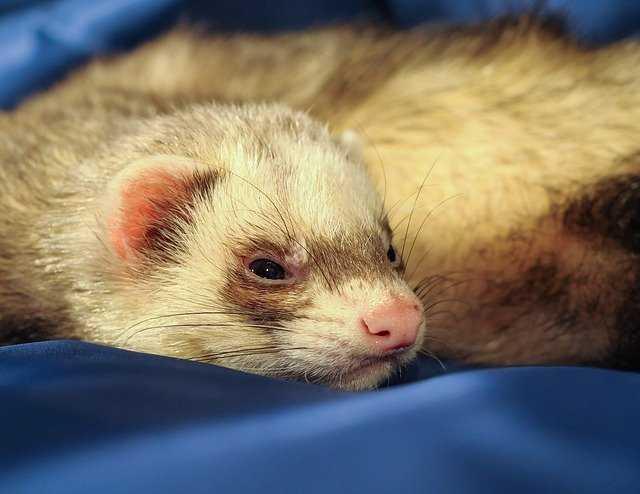 A ferret sleeping on a blue blanket