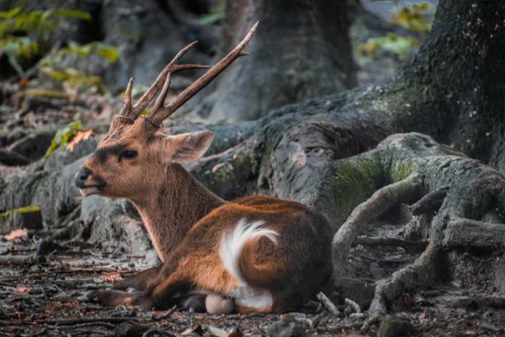A deer lying down on a rock