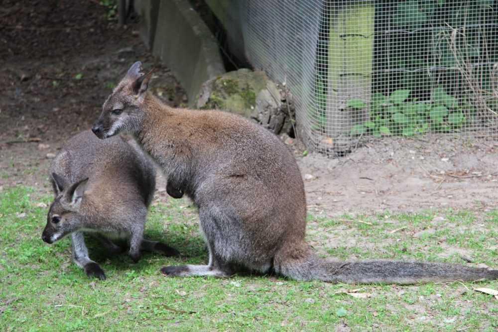 A kangaroo standing on grass