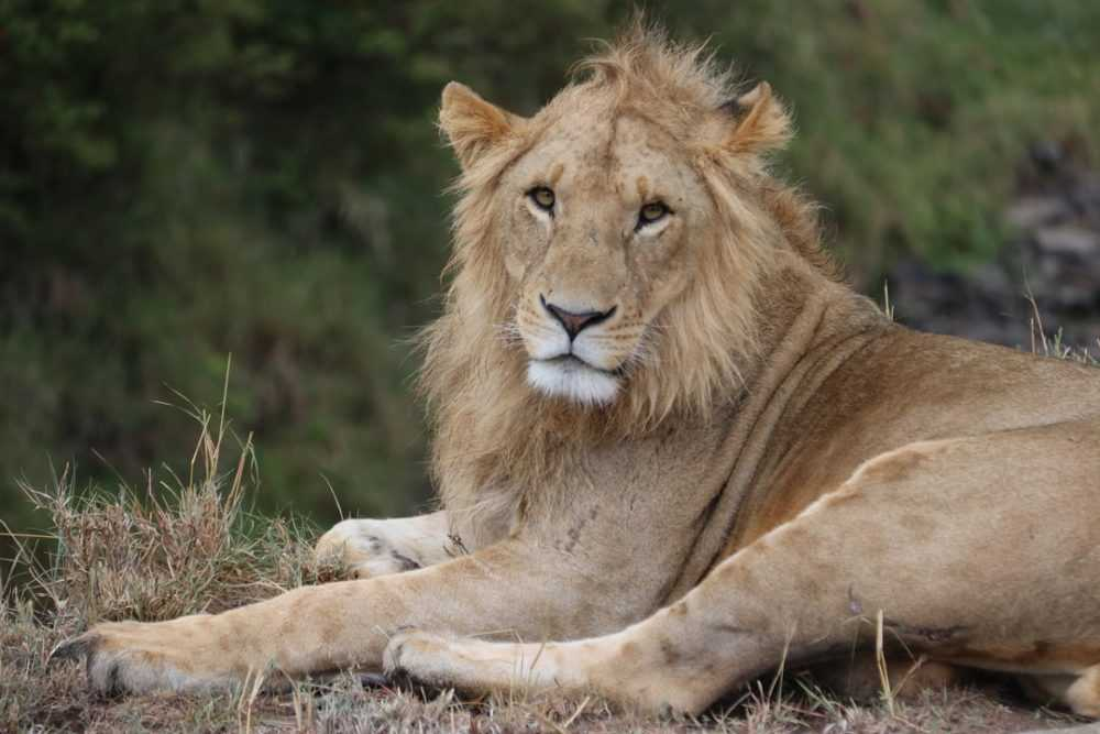 A lion lying in the grass
