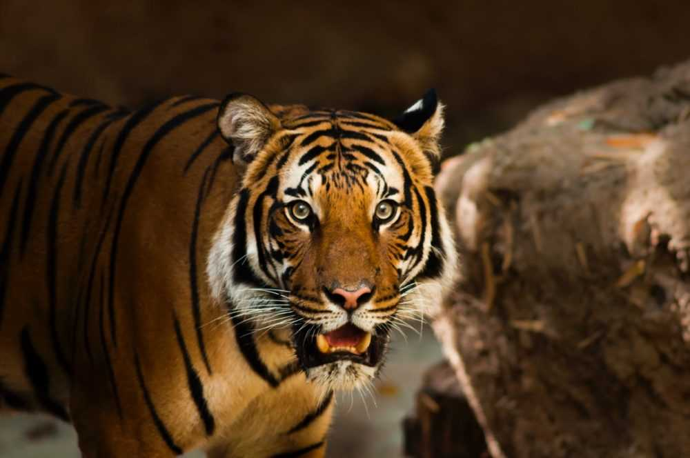 A tiger with its mouth open
