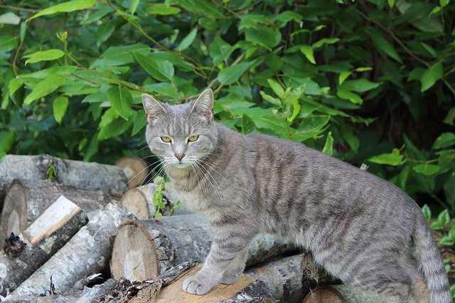 A grey cat sitting in a garden