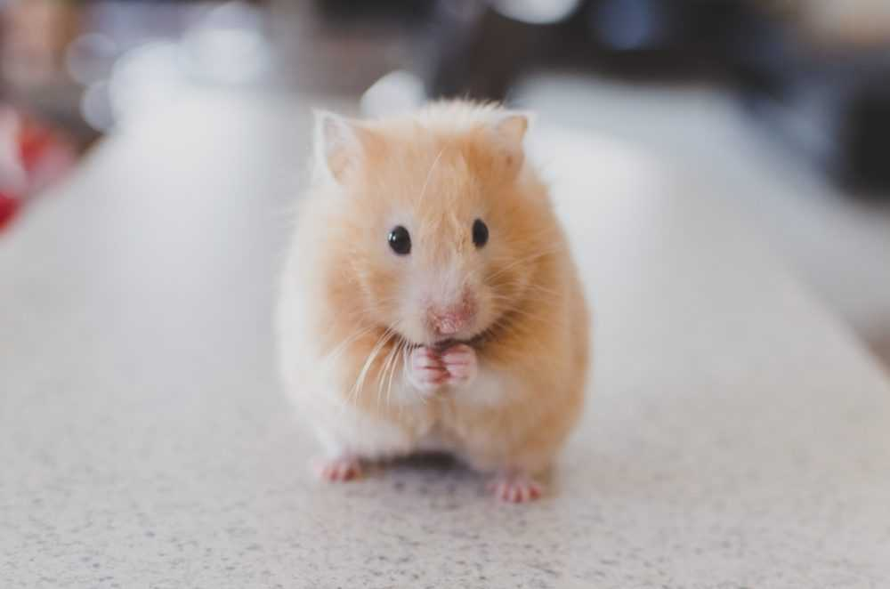 A close up of a rodent
