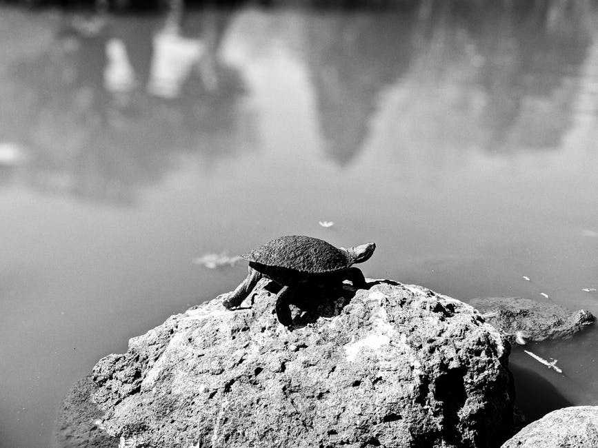 A turtle in the water