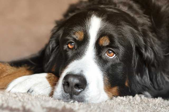 A close up of a dog lying down and looking at the camera