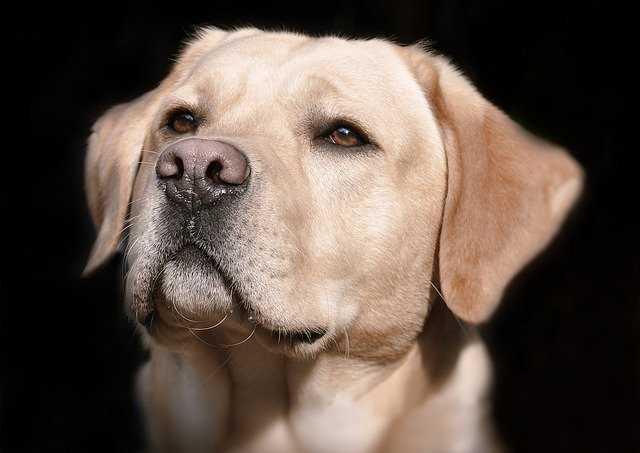 A close up of a dog staring at the camera